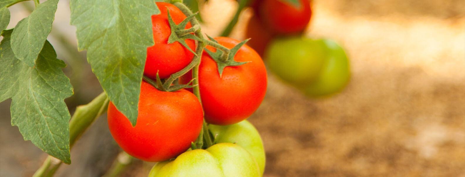 Биоборба Bioborba - домати